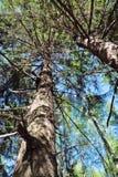 Tjocka trädstammar i skog på solig sommardag Arkivbild