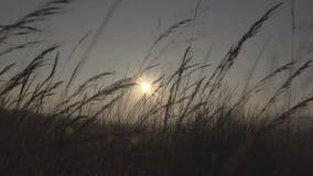 Tjockt gräs i ett fält under solnedgång arkivfilmer