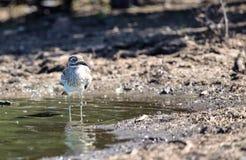 Tjockt knä för vatten i den Kruger nationalparken Royaltyfria Bilder