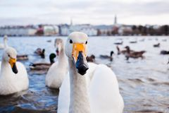 Tjornin lake in Reykjavik, Iceland. Ducks and swans on the lake Tjornin in Reykjavik, Iceland Royalty Free Stock Photos