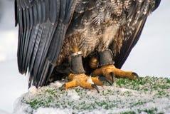 Tjuder med en klocka av rovfåglar arkivbild