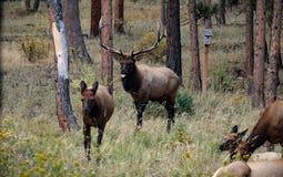 Tjurälg i brunsten som jagar ner en kvinnlig älg i Rocky Mountain National Park, Co Arkivbilder