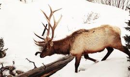 Tjurälg i de djupa snöarna av Yellowstone Arkivfoto