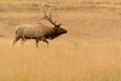 Tjurälg med stora horn på kronhjort i guld- äng Royaltyfri Fotografi