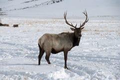 Tjurälg med stora horn på kronhjort som står i snö Arkivfoto