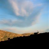 Tjurälg som betar på soluppgång, Rocky Mountain National Park, Colorado arkivbilder