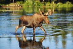 Tjurälg som korsar en flod Royaltyfria Bilder