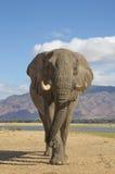 Tjur för afrikansk elefant (Loxodontaafricana) som går in mot cet arkivfoton