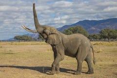 Tjur för afrikansk elefant (Loxodontaafricana) som lyfter upp stammen arkivbilder