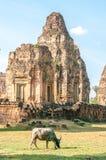 Tjur framme av den kambodjanska templet Arkivbild