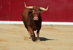 Tjur i Spanien Royaltyfri Fotografi
