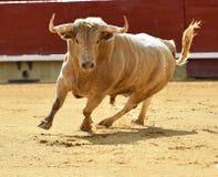 Tjur i Spanien med stora horn Arkivfoton