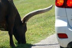 Tjur och bil Arkivbild