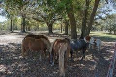 Tjur och ponnyer Fotografering för Bildbyråer