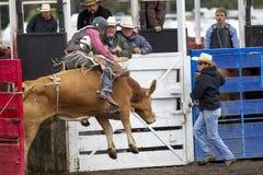 Tjur och ryttare ut ur porten Royaltyfri Foto