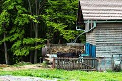 Tjur på lantgården i stallen arkivfoto