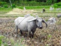 Tjur på risfältet på berget Arkivbild