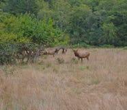 Tjur Roosevelt Elk med gräs på huvudet Royaltyfri Foto