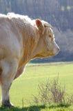 tjur som plattforer vit Royaltyfri Fotografi