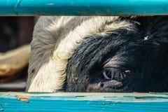 Tjur som väntar för att frigöras upp i Rancho Oso, Kalifornien royaltyfria foton