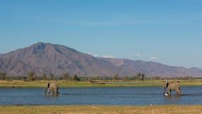 Tjurar för afrikansk elefant som korsar vatten arkivbild