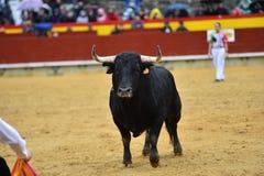 Tjurar i Spanien spring i ett grönt landskap arkivfoto