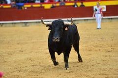 Tjurar i Spanien spring i ett grönt landskap royaltyfri bild
