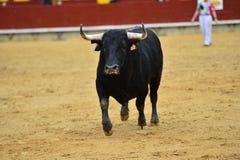 Tjurar i Spanien spring i ett grönt landskap royaltyfria bilder