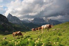 Tjurar på äng, Dolomites royaltyfria foton