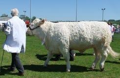 Tjurar p? en jordbruks- show royaltyfri foto