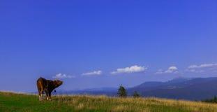Tjurar som är höga i bergen, betar i sommar fotografering för bildbyråer