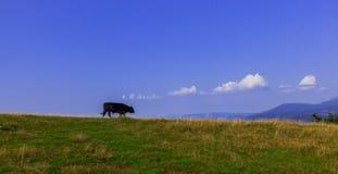 Tjurar som är höga i bergen, betar i sommar royaltyfri fotografi