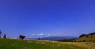 Tjurar som är höga i bergen, betar i sommar arkivfoton