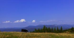Tjurar som är höga i bergen, betar i sommar royaltyfri bild