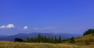 Tjurar som är höga i bergen, betar i sommar arkivfoto