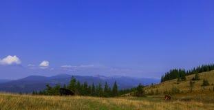 Tjurar som är höga i bergen, betar i sommar arkivbild