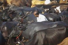 Tjurar som är till salu på boskapsmarknaden royaltyfria bilder