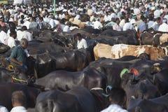 Tjurar som är till salu på boskapsmarknaden royaltyfri foto
