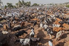 Tjurar som är till salu på boskapsmarknaden arkivbild
