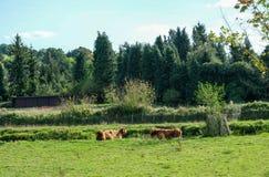 Tjurar som betar och tycker om ett dopp i floden på Eynesford Kent arkivbild