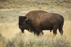 Tjurbison i profilen som står i grässlättar av Yellowstone, Wy Royaltyfri Foto