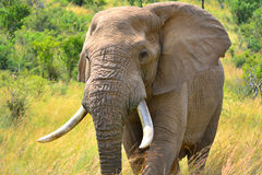 Tjurelefant Arkivfoton