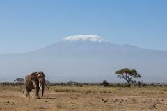 Tjurelefant med Kilimanjaro i bakgrund, Amboseli, Kenya Fotografering för Bildbyråer