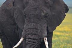 Tjurelefant som ser höger på oss arkivbild