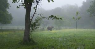 Tjuren i en dimmig vår betar royaltyfri fotografi