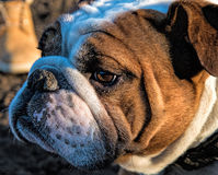Tjurhund royaltyfria foton