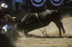 Tjurridning, greve Warren Fairgrounds, Fiestarodeo, materielhästshow, Santa Barbara Old Spanish Days, CA Arkivfoton
