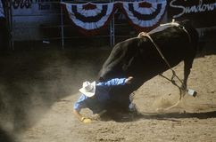 Tjurridning, greve Warren Fairgrounds, Fiestarodeo, materielhästshow, Santa Barbara Old Spanish Days, CA Fotografering för Bildbyråer