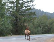 TjurRoosevelt Elk korsning väg Royaltyfri Bild
