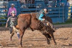 Tjurryttare som kastas på den michigan rodeon Royaltyfri Foto